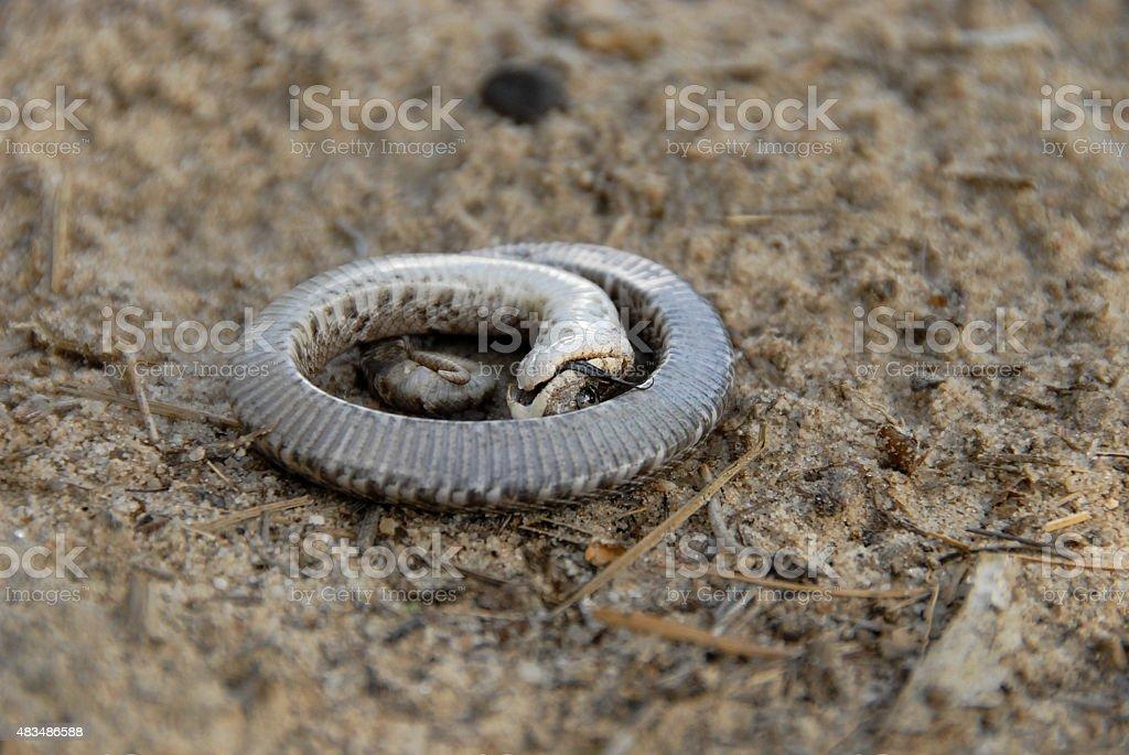 Eastern Hognose Snake stock photo