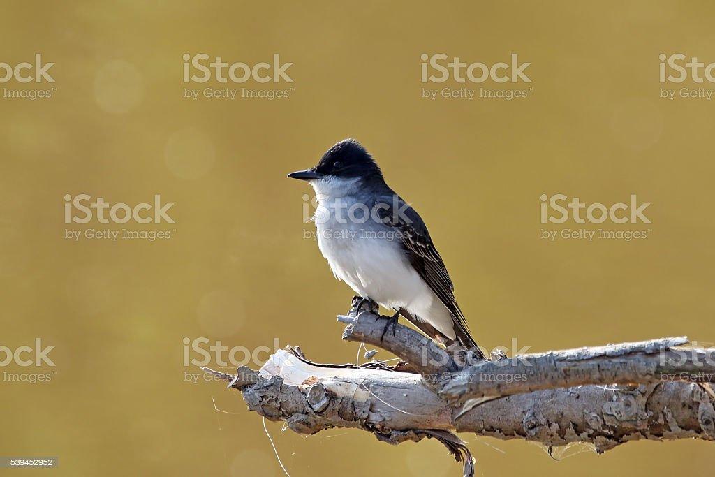 Eastern King Bird stock photo