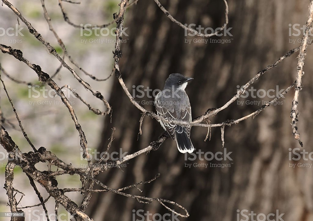 Eastern Kingbird in the Forest royalty-free stock photo