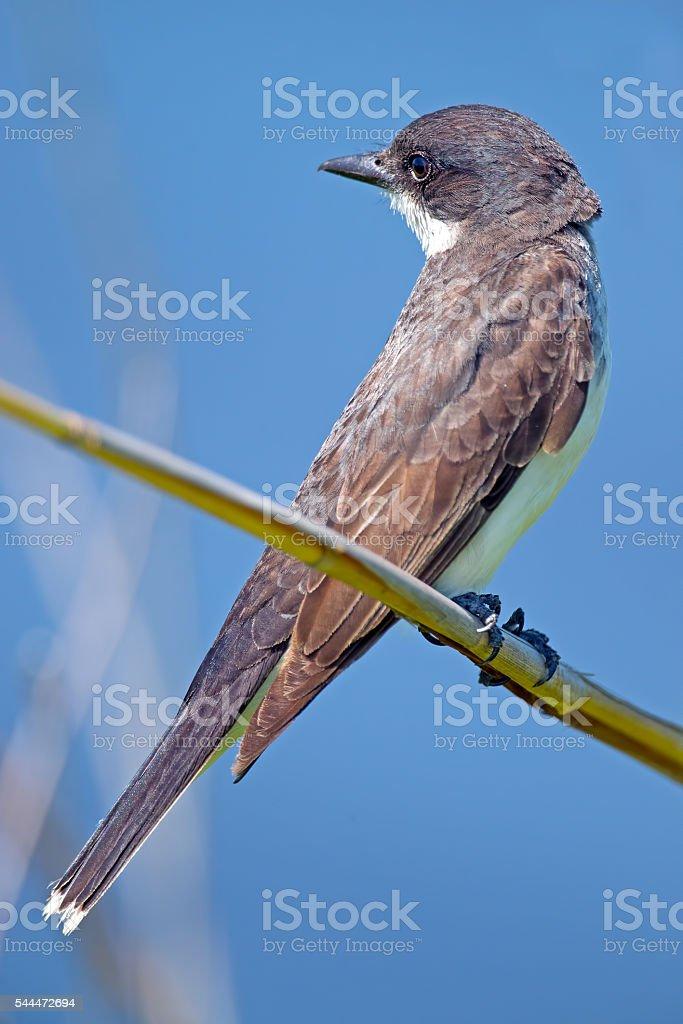 Eastern Kingbird in Tree stock photo