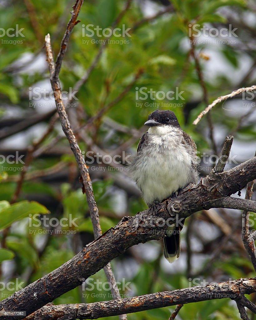 Eastern Kingbird Juvenile on Branch stock photo