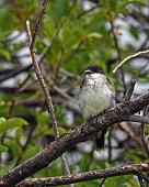 Eastern Kingbird Juvenile on Branch