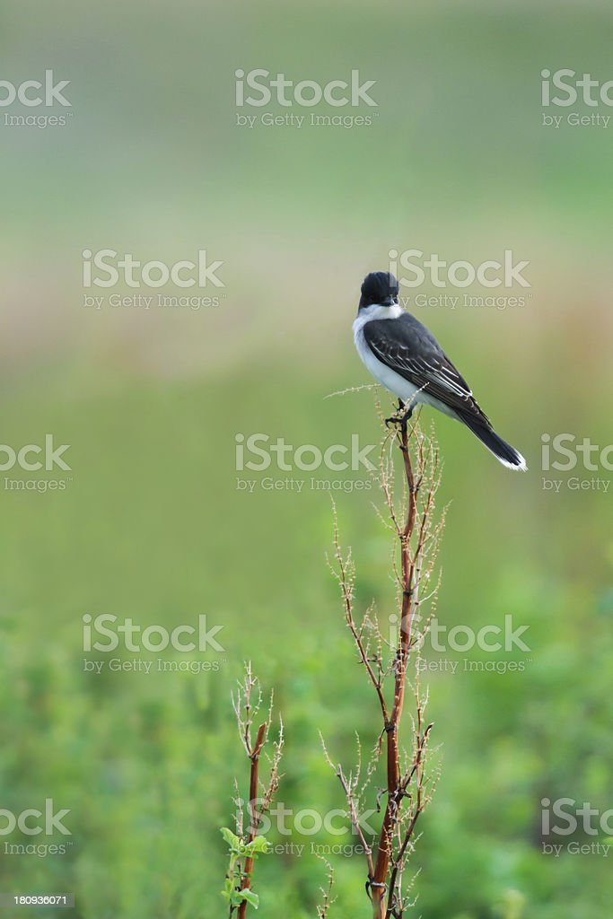 Eastern Kingbird (Tyrannus tyrannus) stock photo