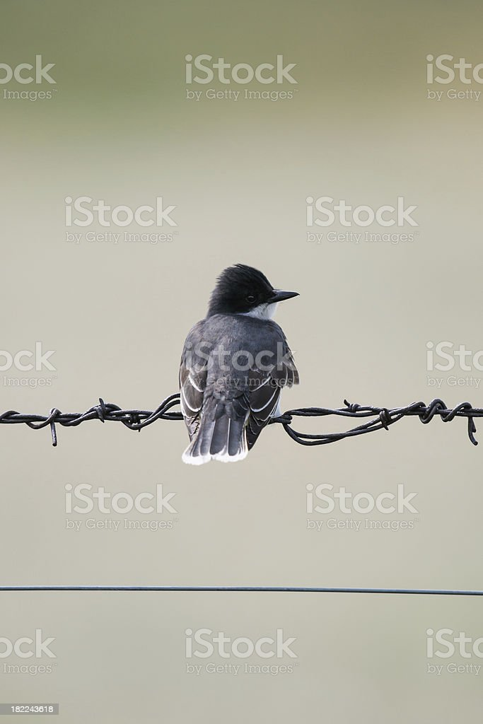 Eastern Kingbird (Tyrannus tyrannus) royalty-free stock photo