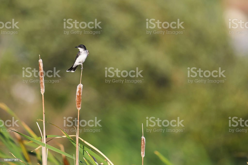 Eastern Kingbird (Tyrannus tyrannus) royalty-free stock photo