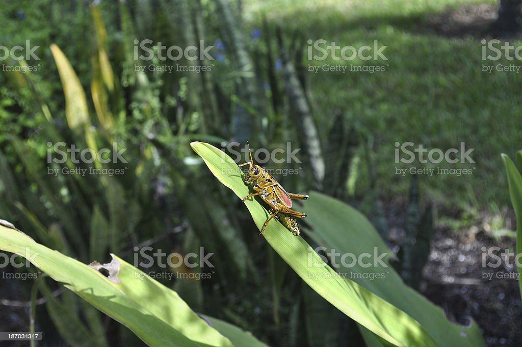 Eastern Lubber Grasshopper royalty-free stock photo