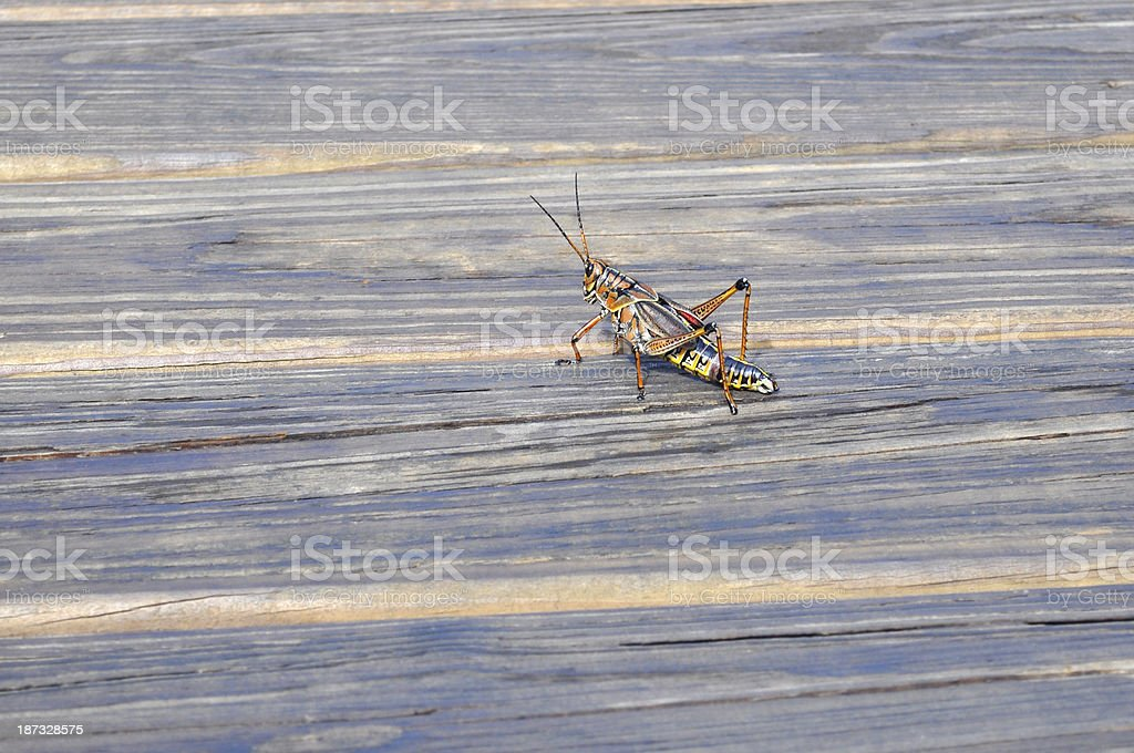 Eastern Lubber Grasshopper royalty-free stock photo