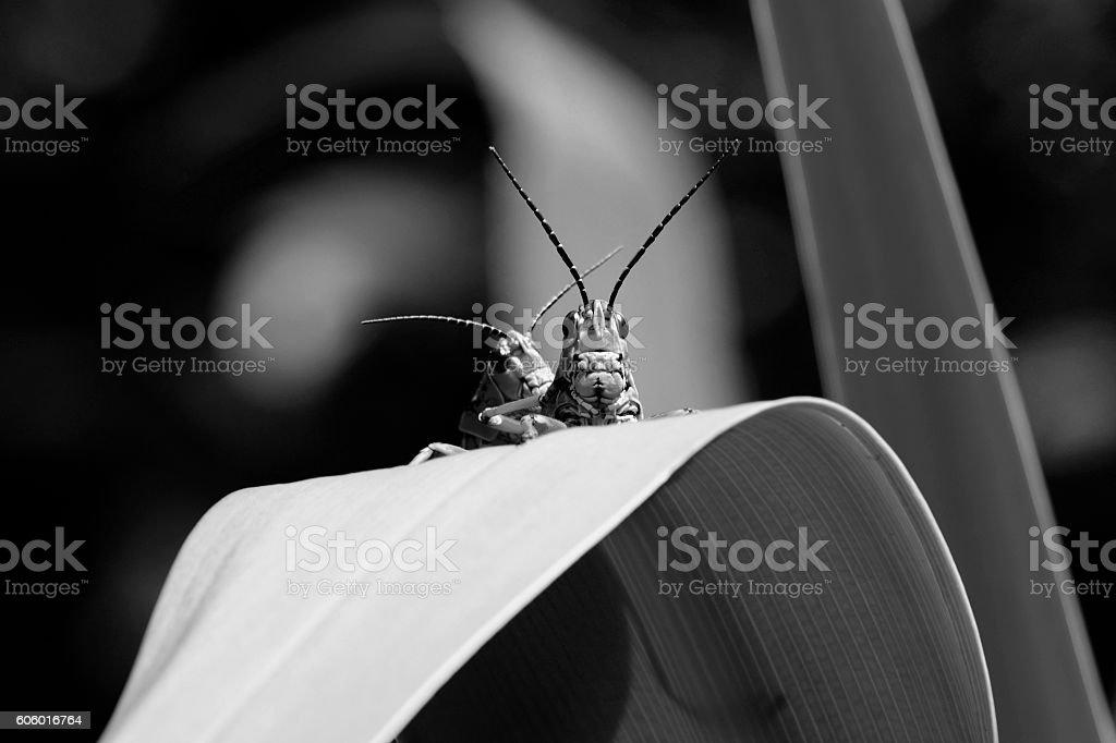 Eastern Lubber Grasshopper stock photo