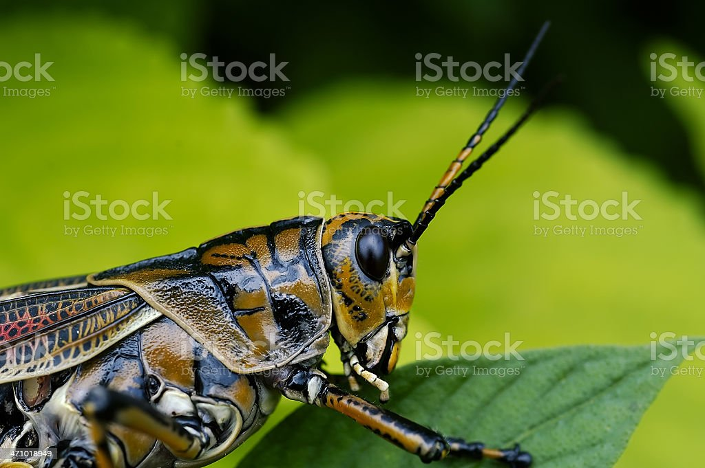 Eastern Lubber Grasshoppper royalty-free stock photo