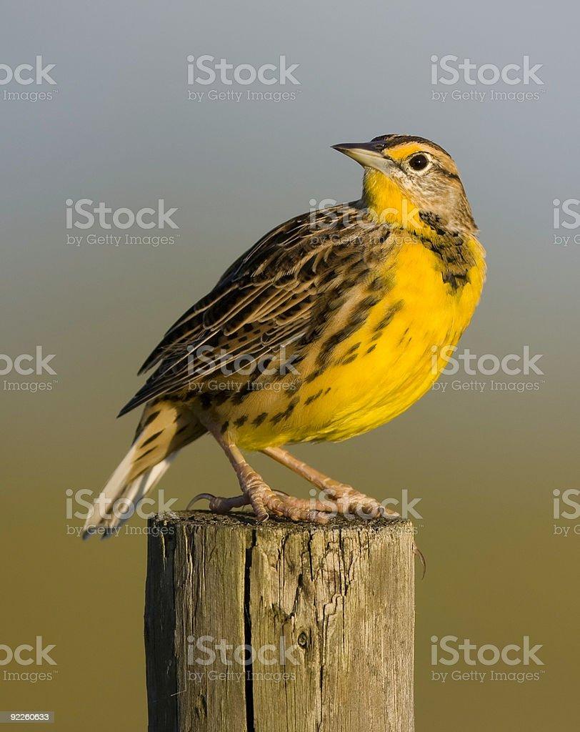Eastern Meadowlark at Sunrise stock photo