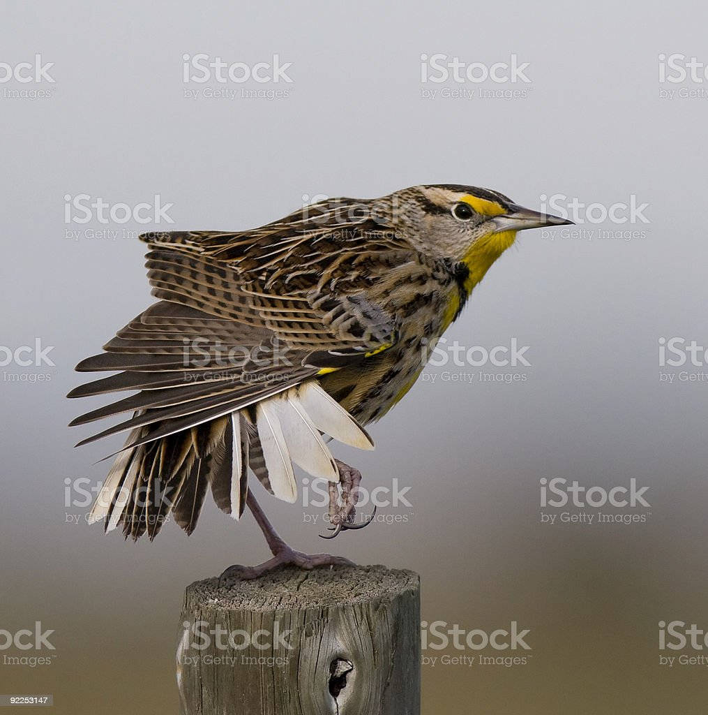 Eastern Meadowlark in a funny pose stock photo