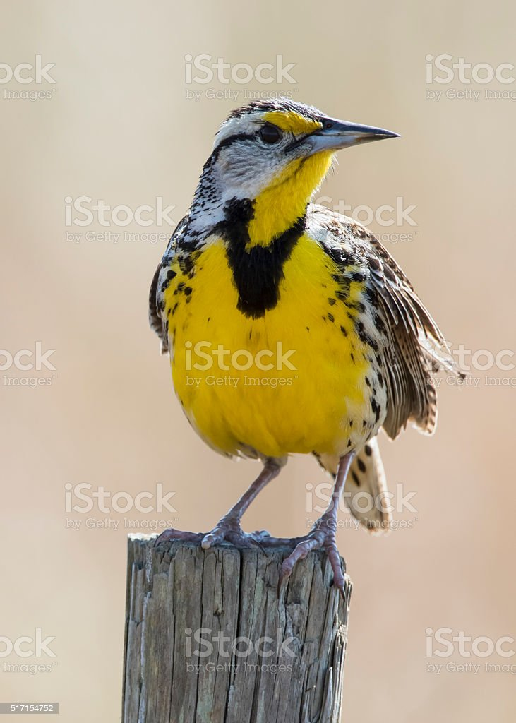 Eastern Meadowlark Perched on a Fence Post - Florida stock photo