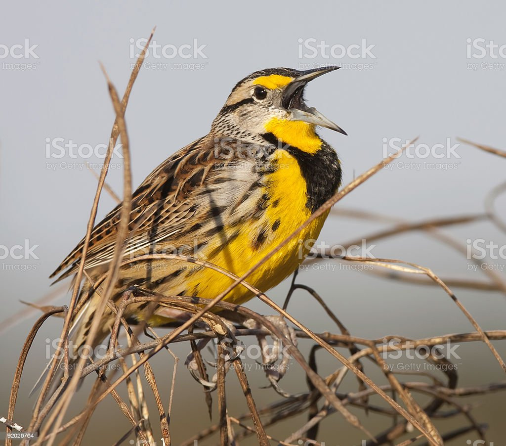 Eastern Meadowlark perching in environment. stock photo