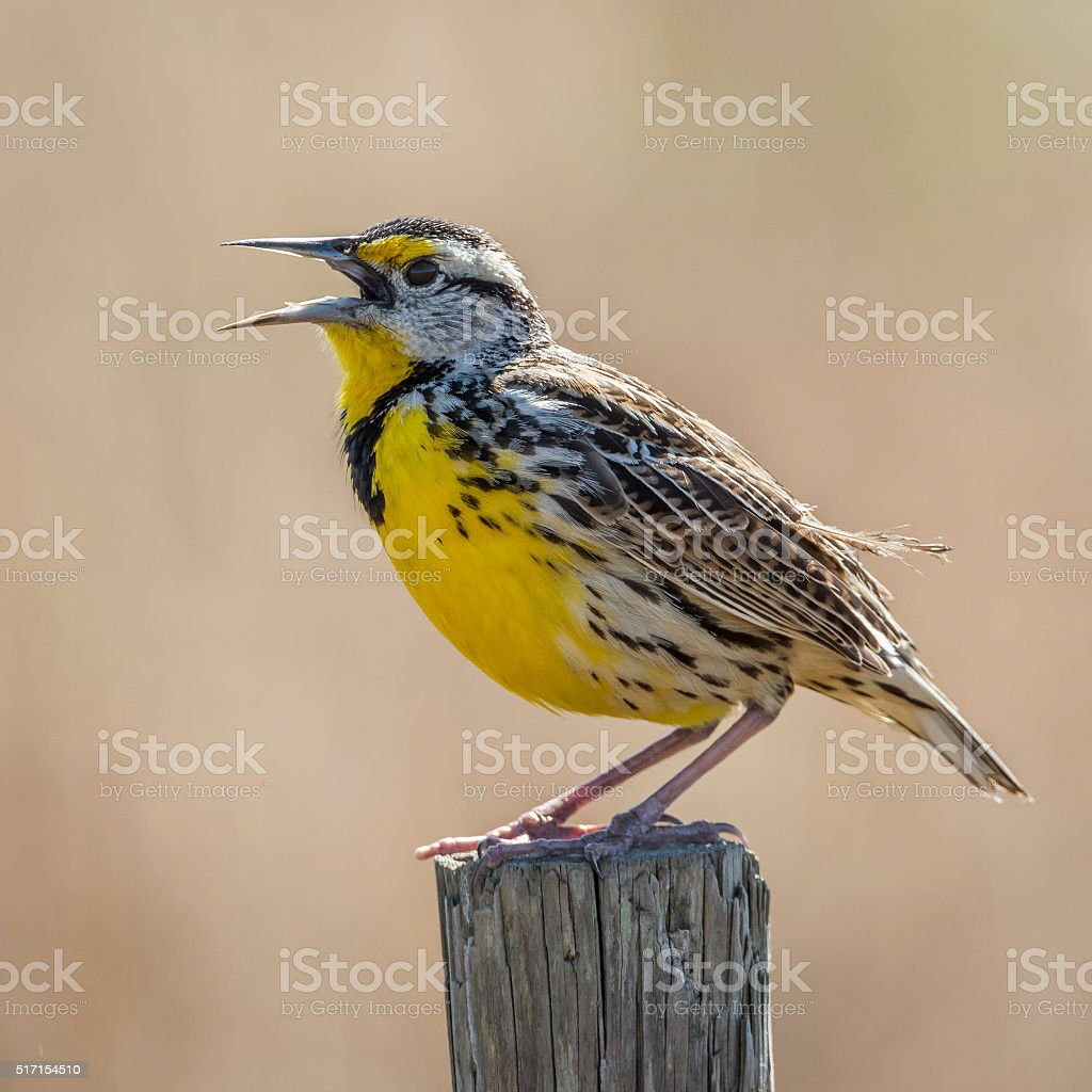 Eastern Meadowlark Singing From a Fence Post - Florida stock photo