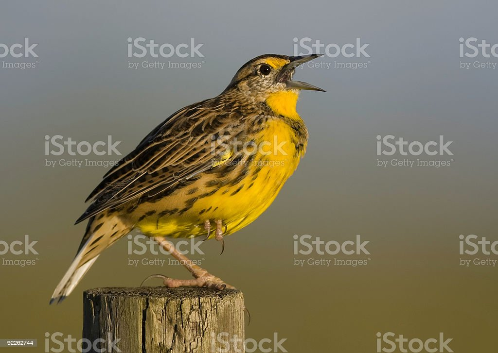 Eastern Meadowlark singing from a fence post stock photo