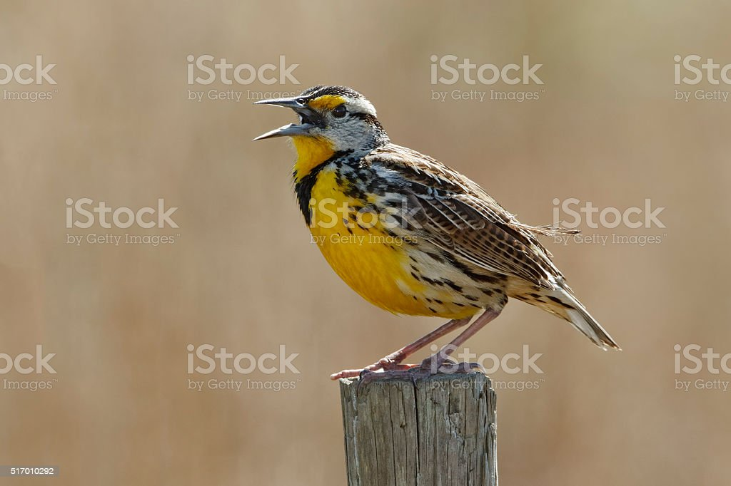 Eastern Meadowlark Singing on a Fence Post stock photo