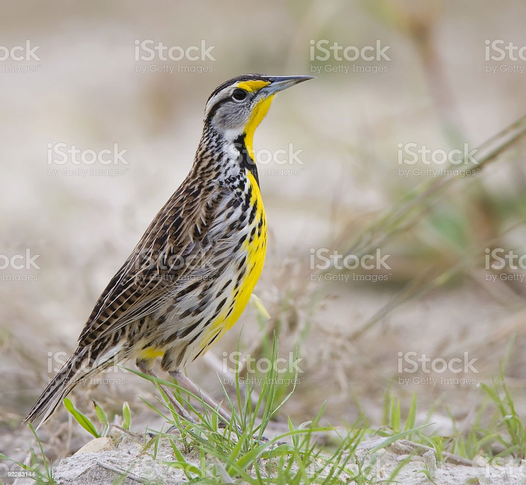 Eastern Meadowlark sitting in the grassy sand. stock photo