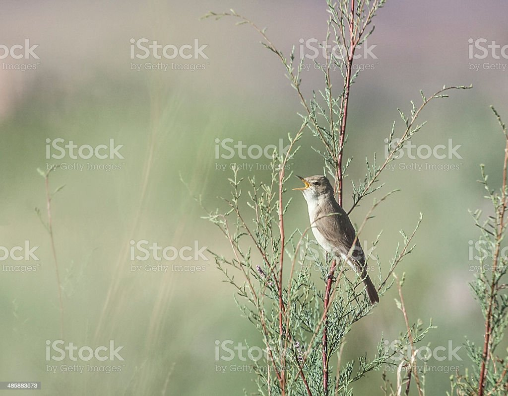 Eastern Olivaceous Warbler, Hippolais pallida reiseri stock photo