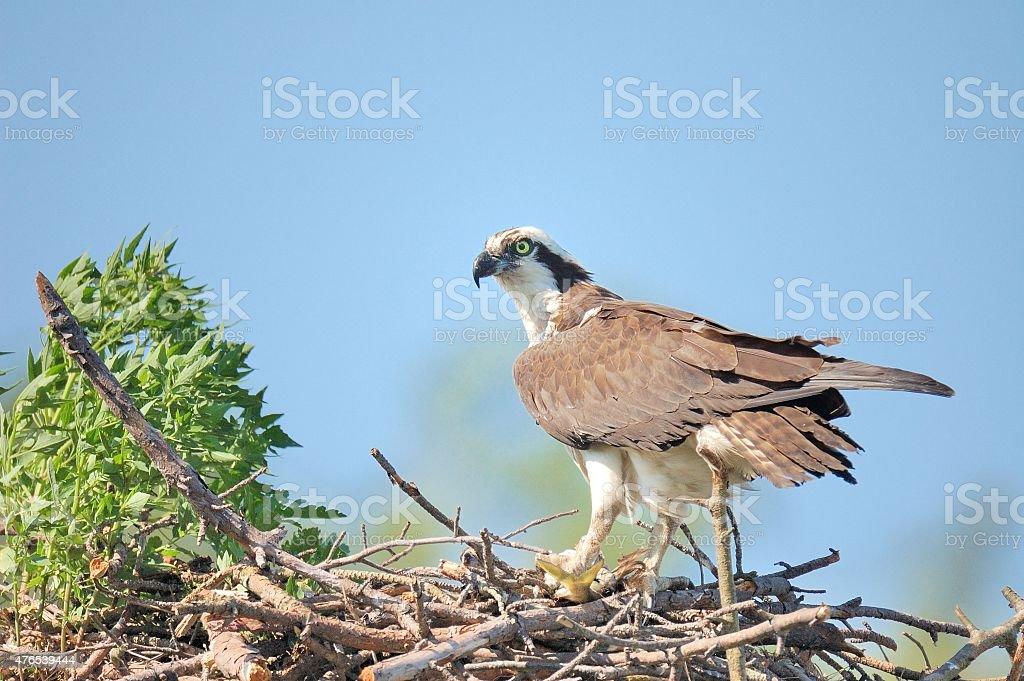 Eastern Osprey Guarding Her Nest stock photo