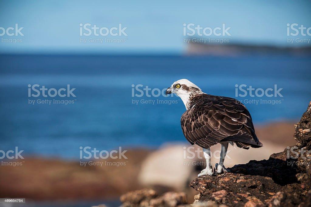 Eastern Osprey stock photo