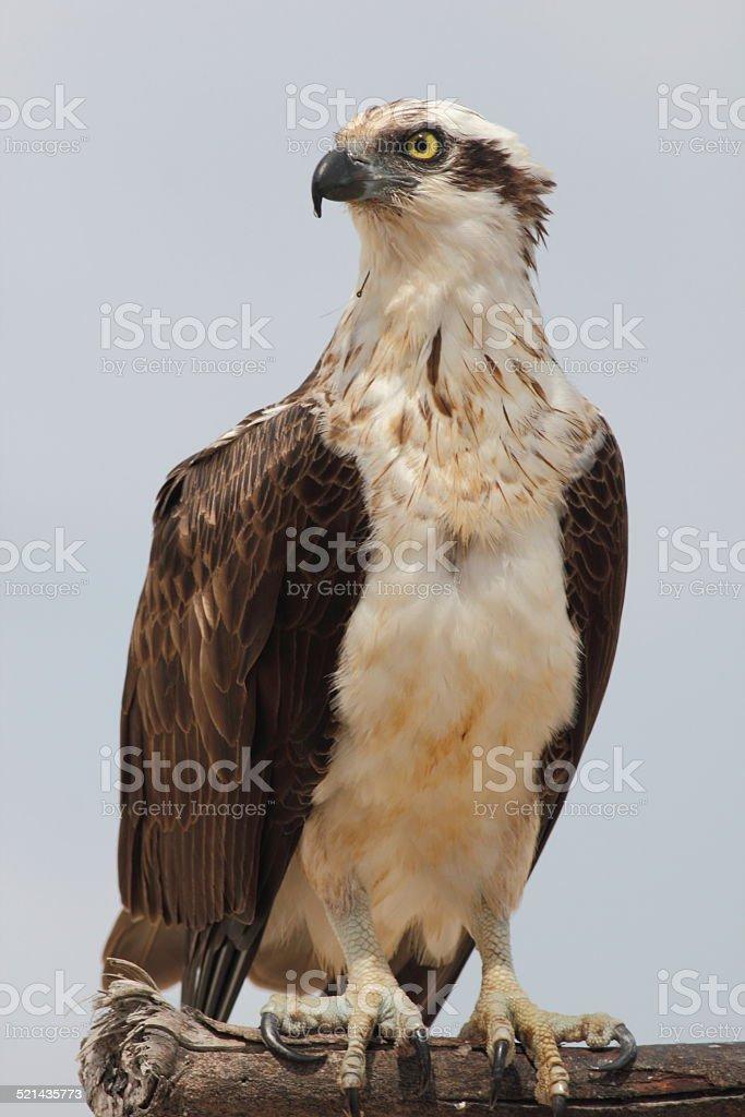 Eastern osprey (Pandion cristatus) stock photo