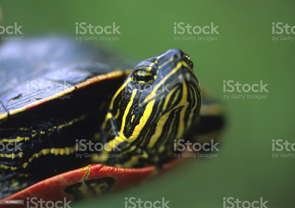 Eastern painted turtle, up close stock photo