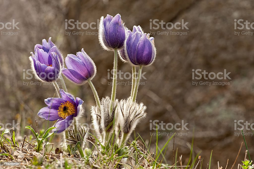 Eastern pasqueflower flowers stock photo