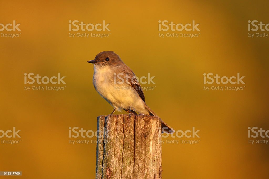 Eastern Phoebe Perching stock photo