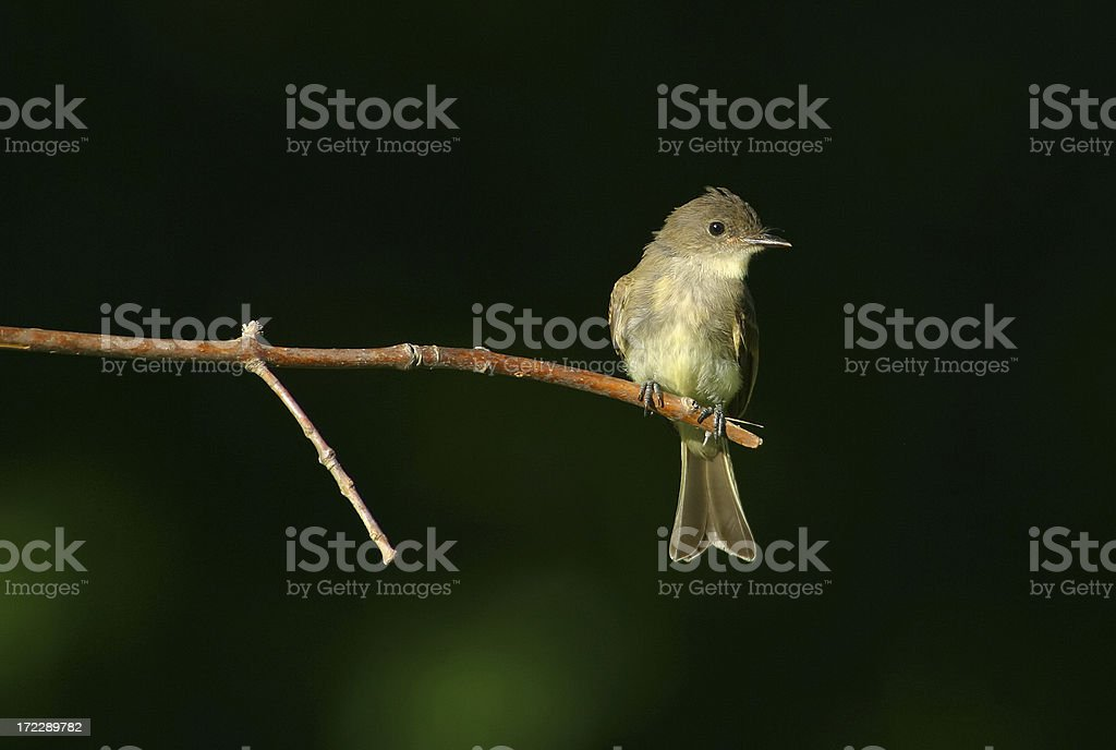 Eastern Phoebe royalty-free stock photo