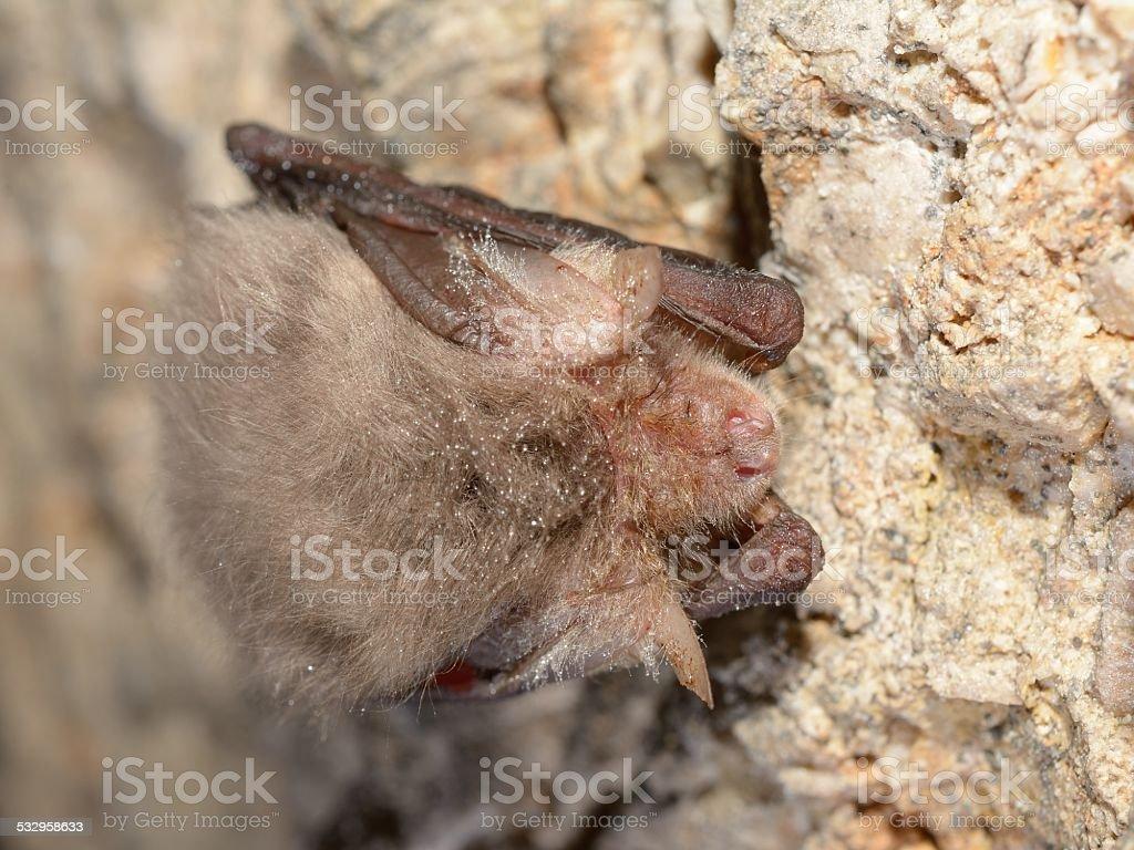 Eastern pipistrelle bat (Pipistrellus subflavus) stock photo