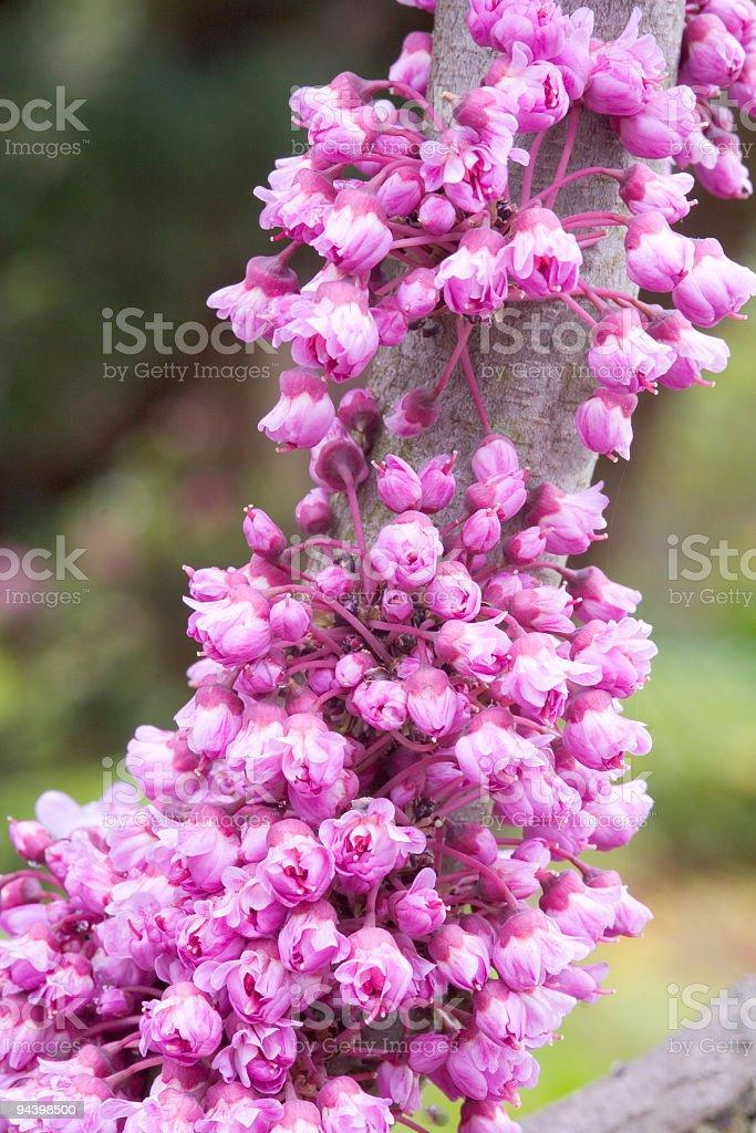 Eastern Redbud tree blooming stock photo
