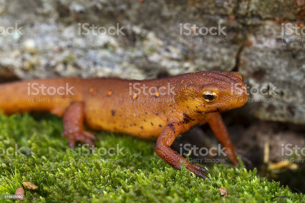Eastern Red-Spotted Newt royalty-free stock photo