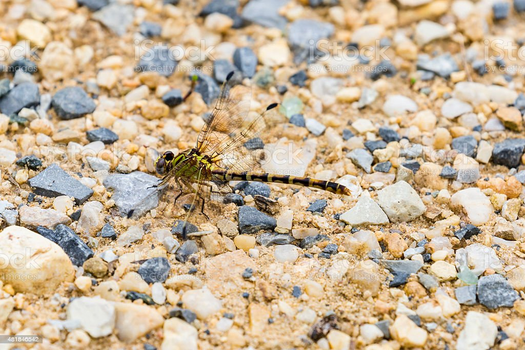 Eastern Ringtail Dragonfly (Female) stock photo