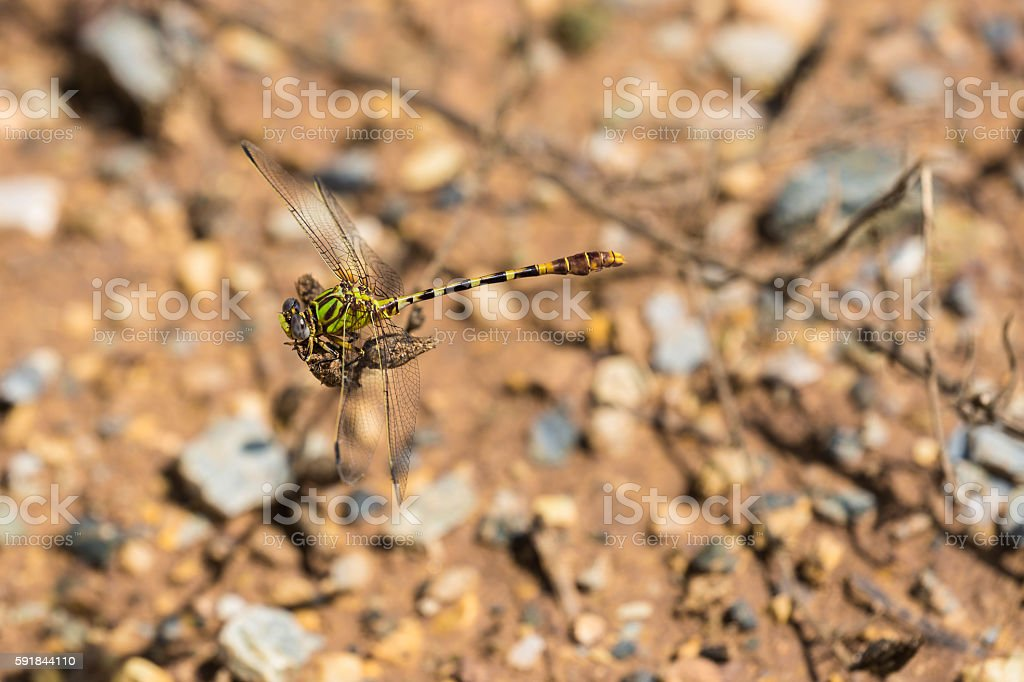 Eastern Ringtail Dragonfly (Male) stock photo