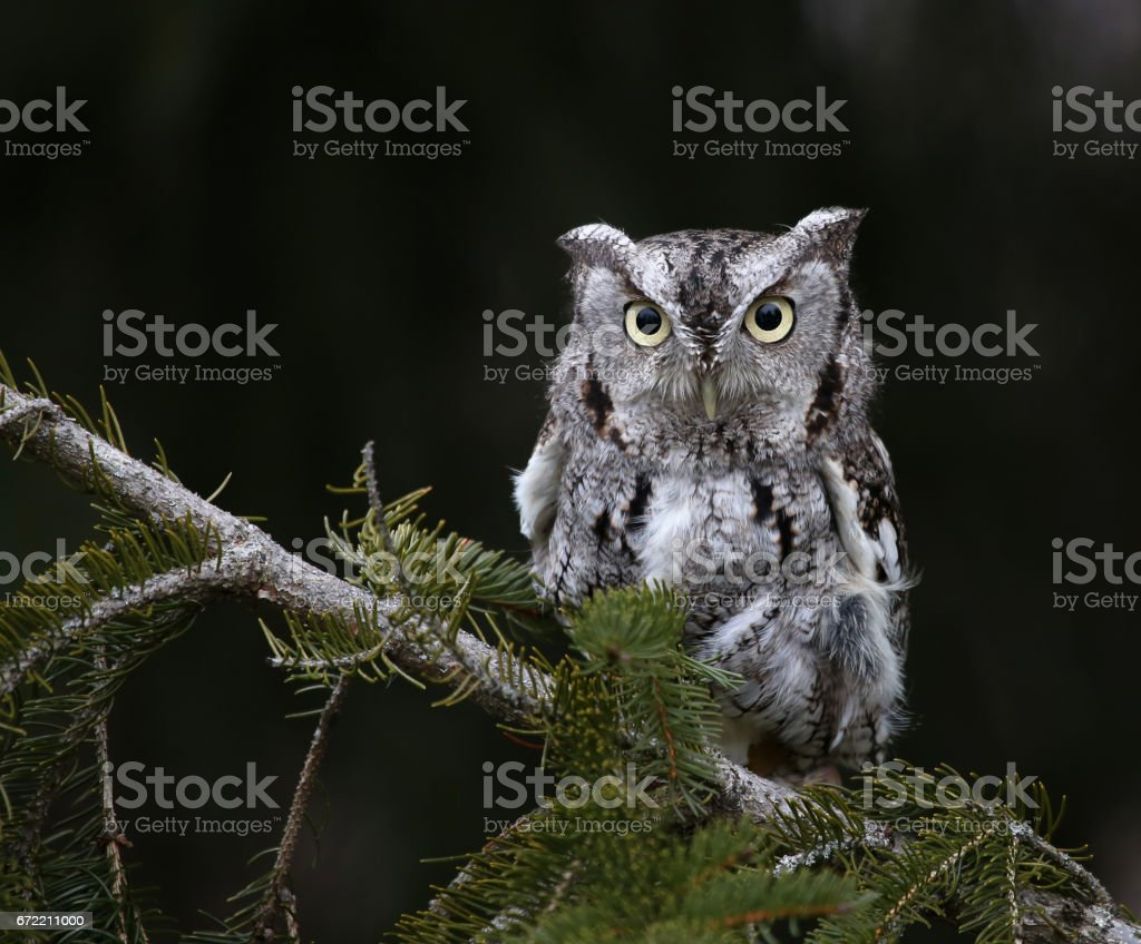 Eastern Screech Owl and Copyspace stock photo