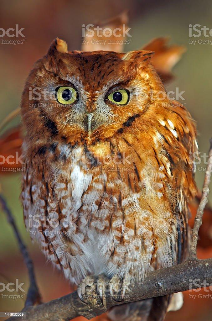 Eastern Screech Owl asking 'WHO R U' stock photo