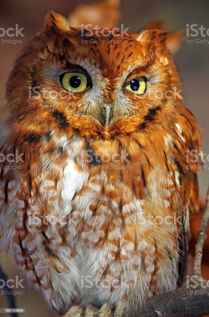 Eastern Screech Owl closeup stock photo