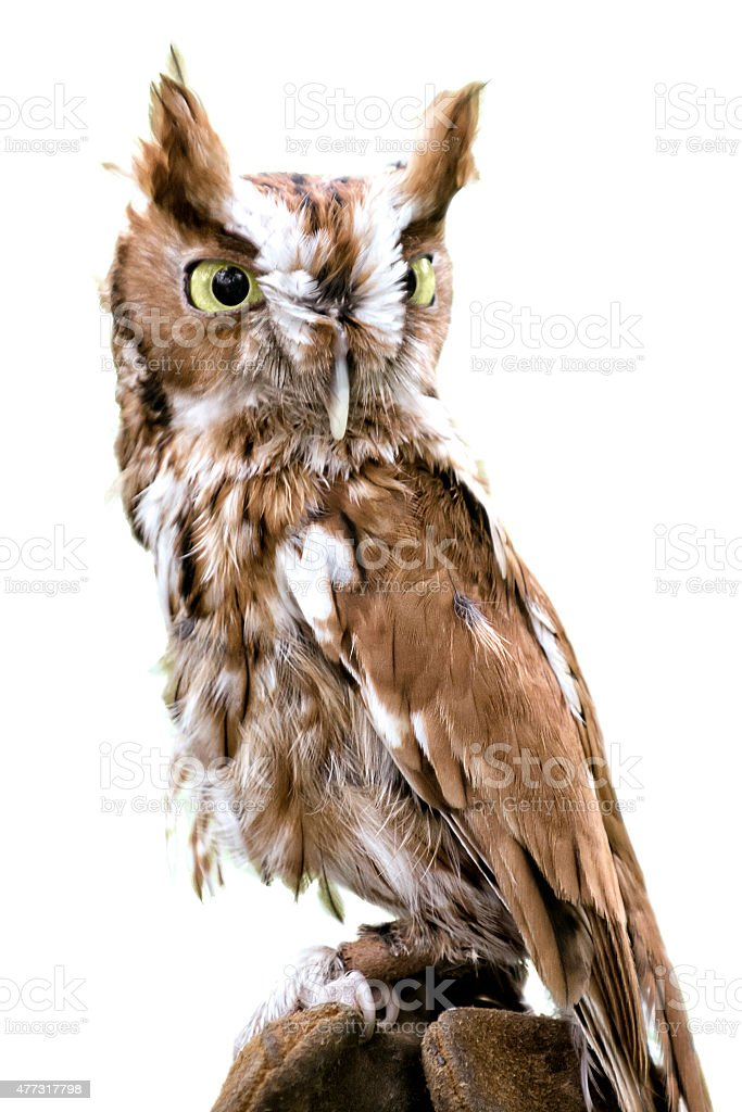 Eastern Screech Owl Isolated stock photo