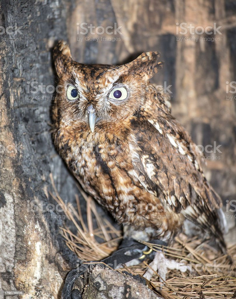 Eastern Screech Owl royalty-free stock photo