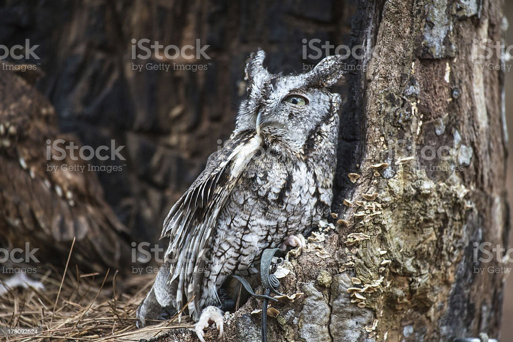 Eastern Screech Owl royalty-free stock photo
