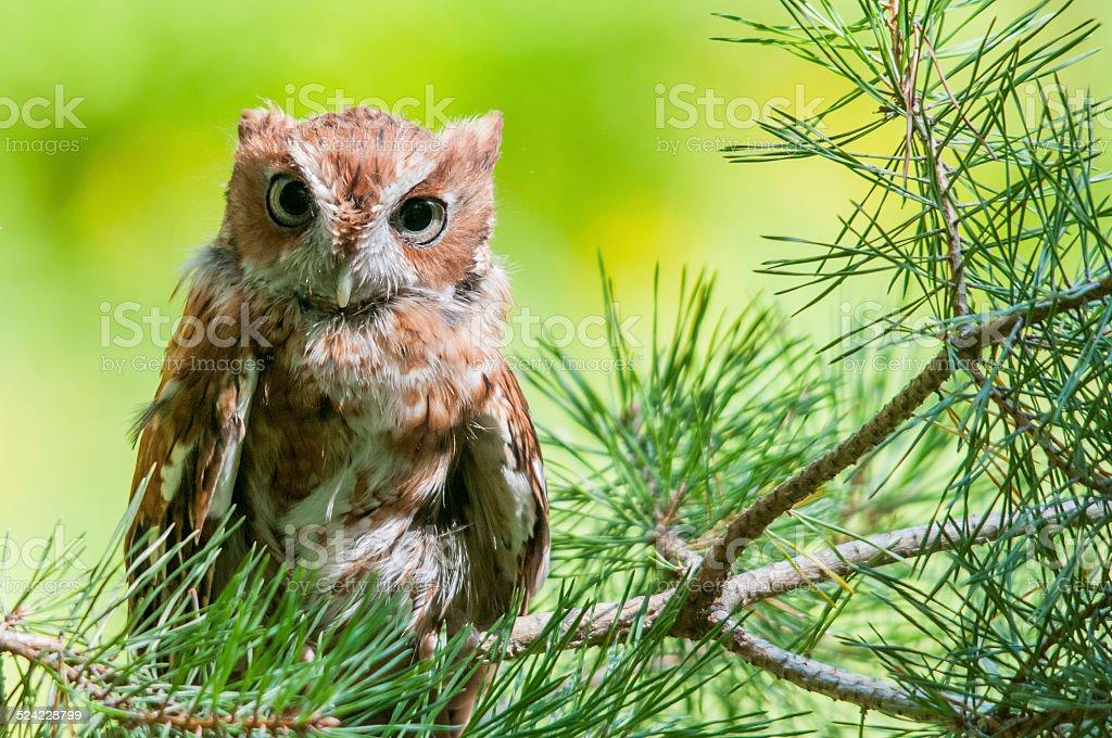 Eastern Screech Owl stock photo