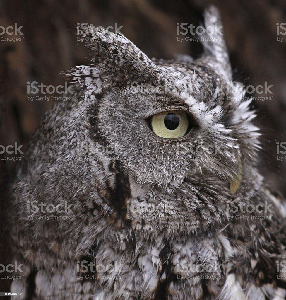 Eastern Screech Owl Profile stock photo