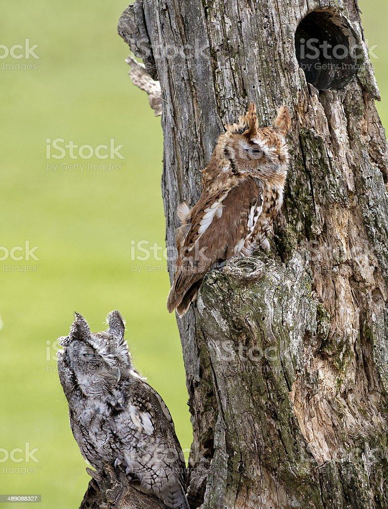 Eastern Screech Owls stock photo