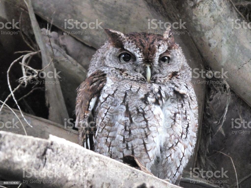 Eastern Screech-Owl (Megascops asio) stock photo