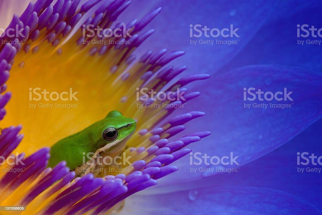 Eastern Sedge Frog stock photo
