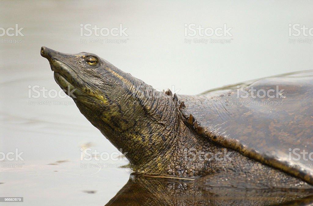 Eastern Spiny Softshell Turtle stock photo
