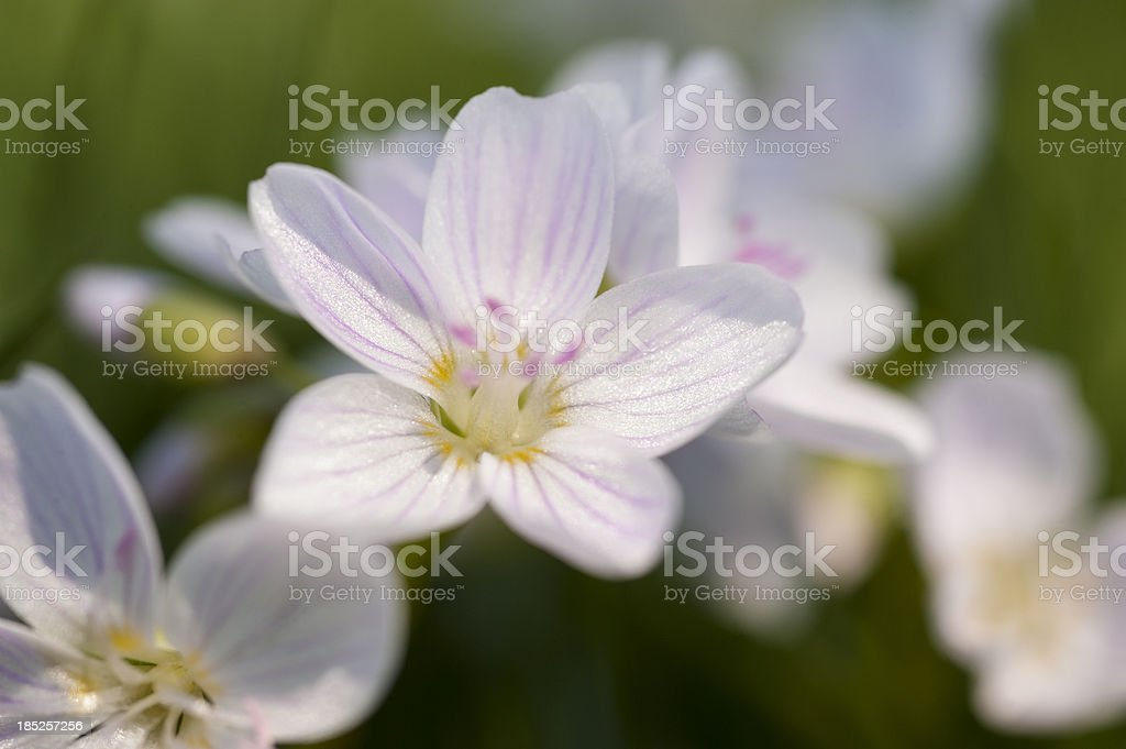 Eastern Spring Beauty royalty-free stock photo