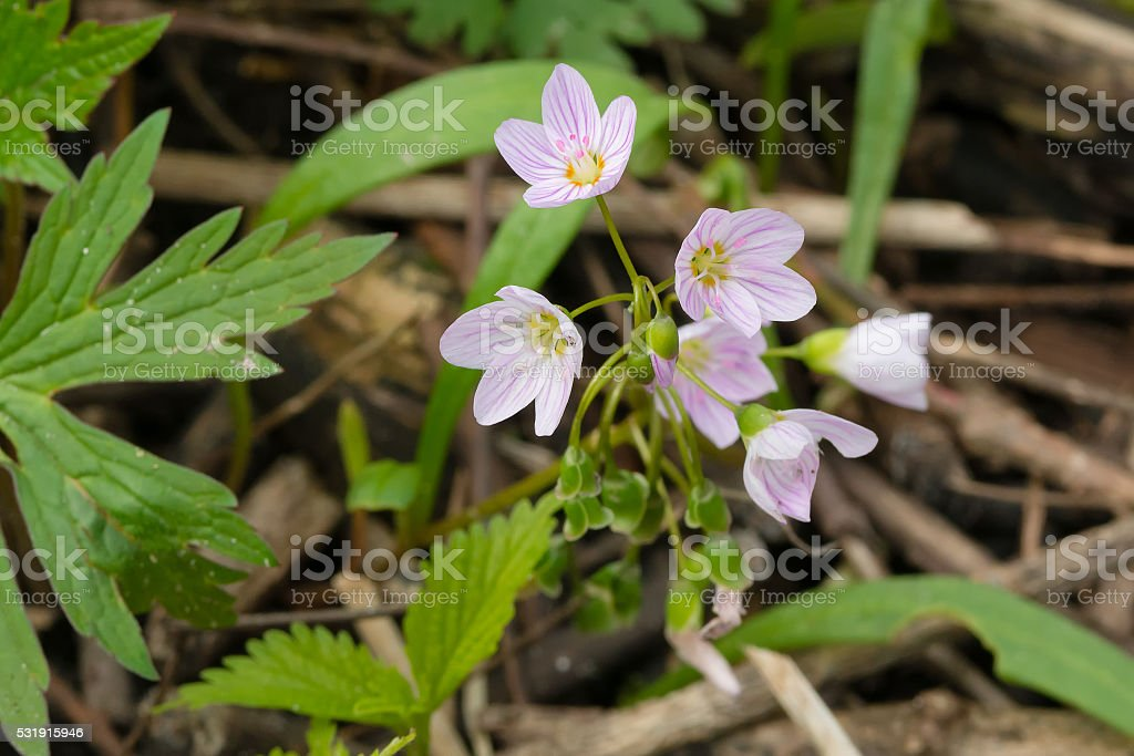 Eastern Spring Beauty stock photo