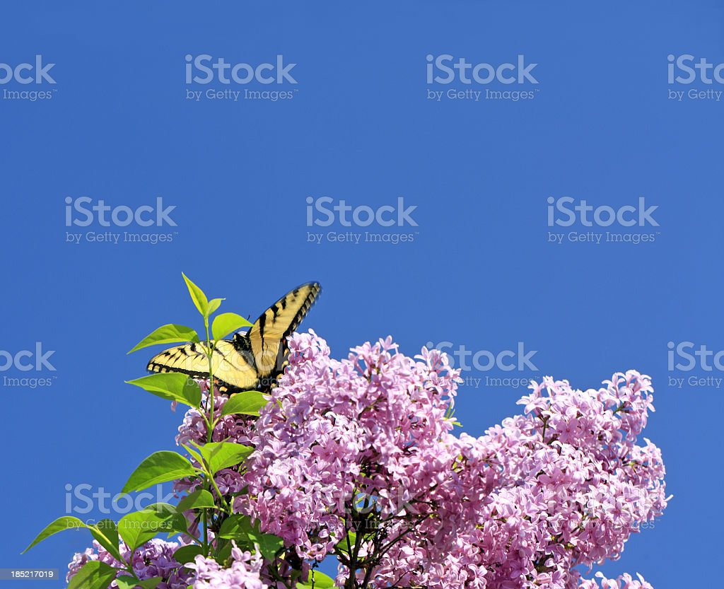 Eastern Swallowtail Butterfly on a Lilac Bush stock photo