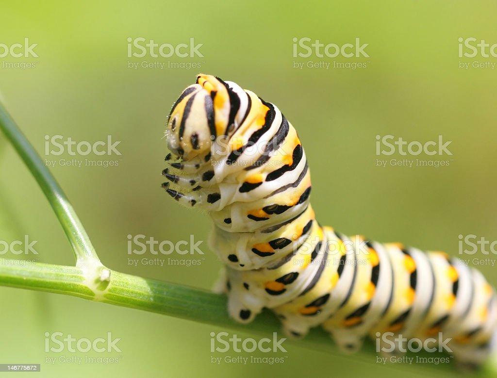 Caterpillar de Swallowtail del este foto de stock libre de derechos